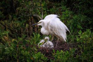 Blog - White Heron and Chicks.jpg
