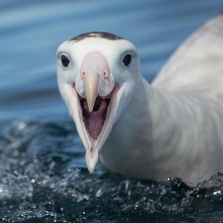 BP001 Albatross.jpg