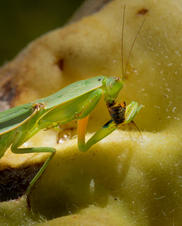 Isolation Aphabet Day 13: 'M' - Mantis