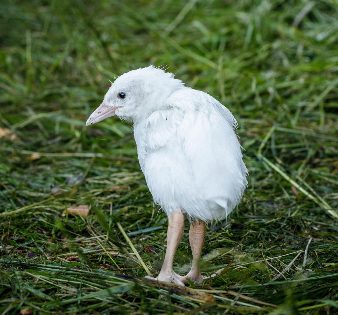 A completely white Leucistic Weka chick, near Larrikin Creek hut