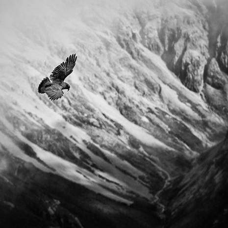 Soaring  A Kea surveys the mountainside from the top of Avalanche Peak, Arthur's Pass