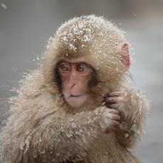 Snow Monkey #20