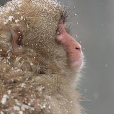 Snow Monkey #21