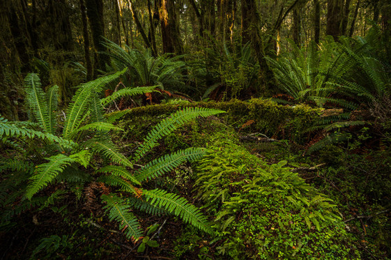 New Zealand Native Bush scene.