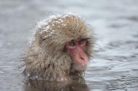 Snow Monkey #12