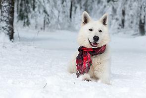 Happy white Swiss shepherd dog with red