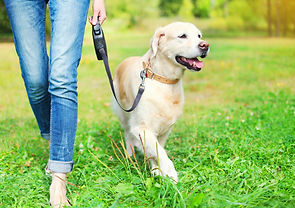 Owner walking with Golden Retriever dog