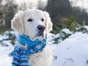 Adorable golden retriever dog wearing bl