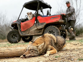 coyote trapping.jpg