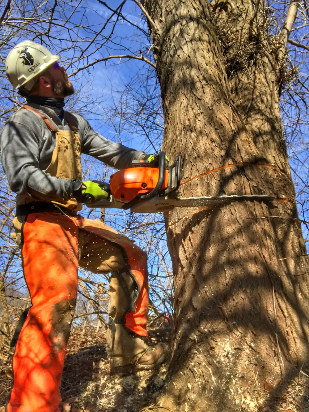 This Honey Locust was double girdled to encourage oak regeneration.