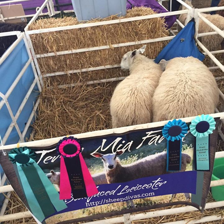 The ewe lambs had a great show! Terra Mia Annette won Reserve Overall Champion White Longwool , Reserve Champion Ewe and Best Fleece!