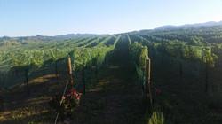 Merlot vineyard netted