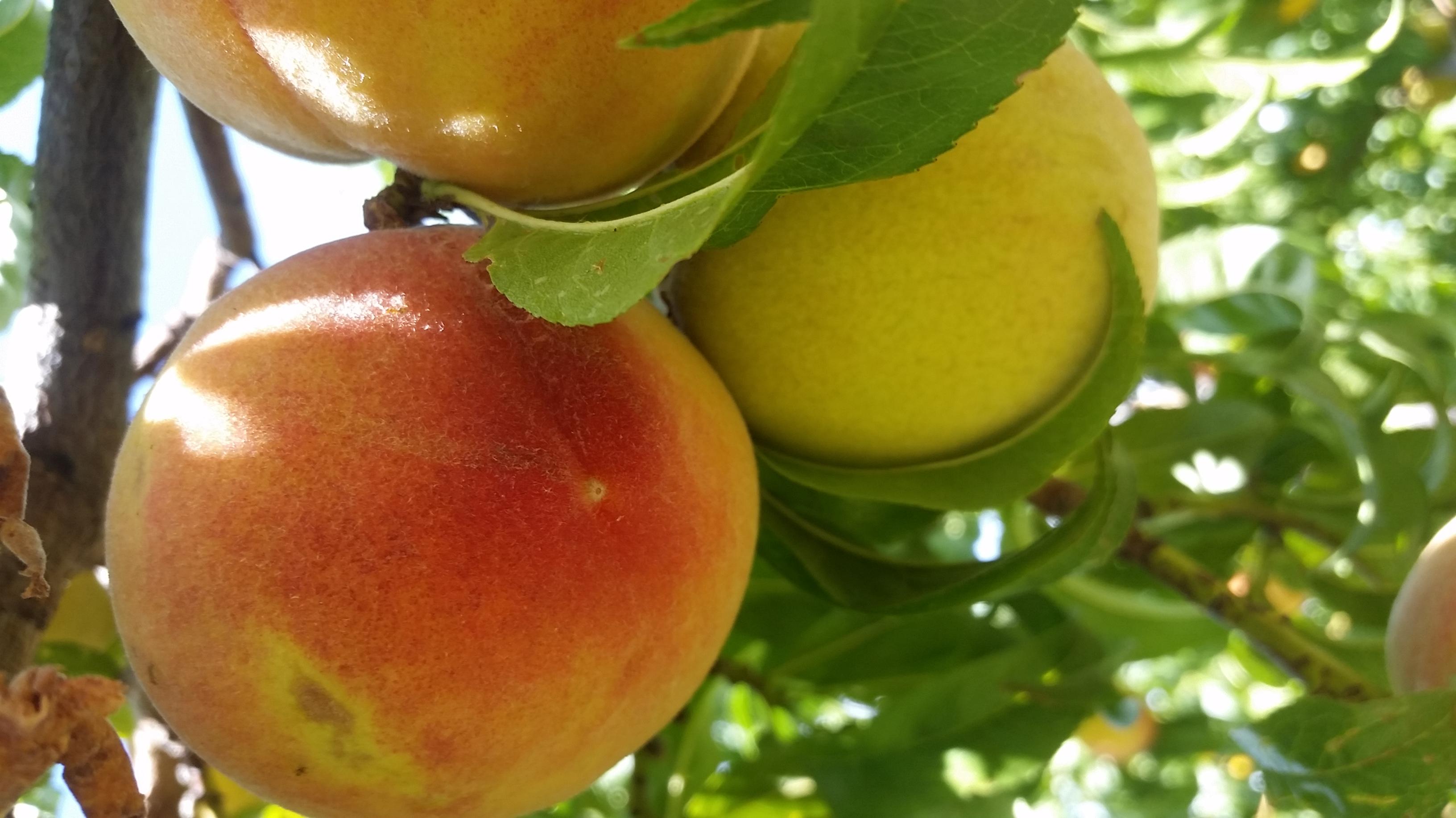 Peach harvest 2017