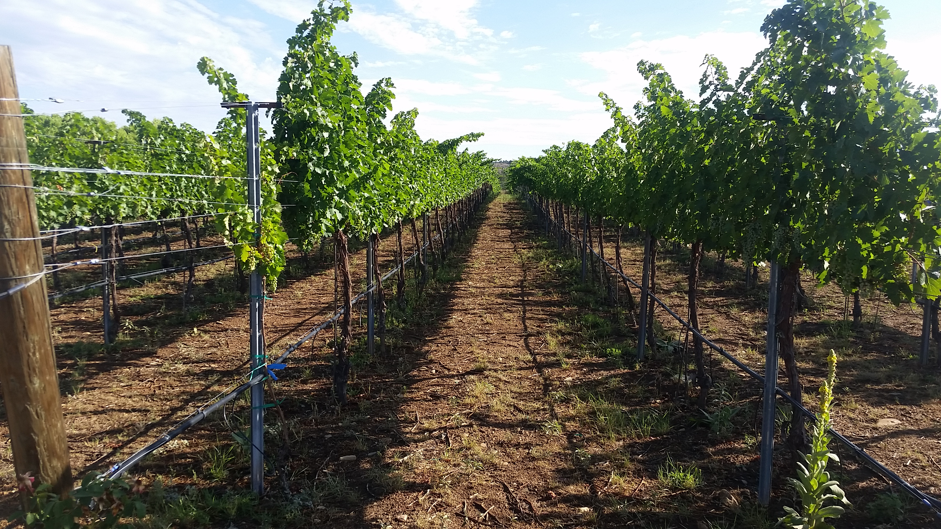 Cabernet - mid summer after hedging