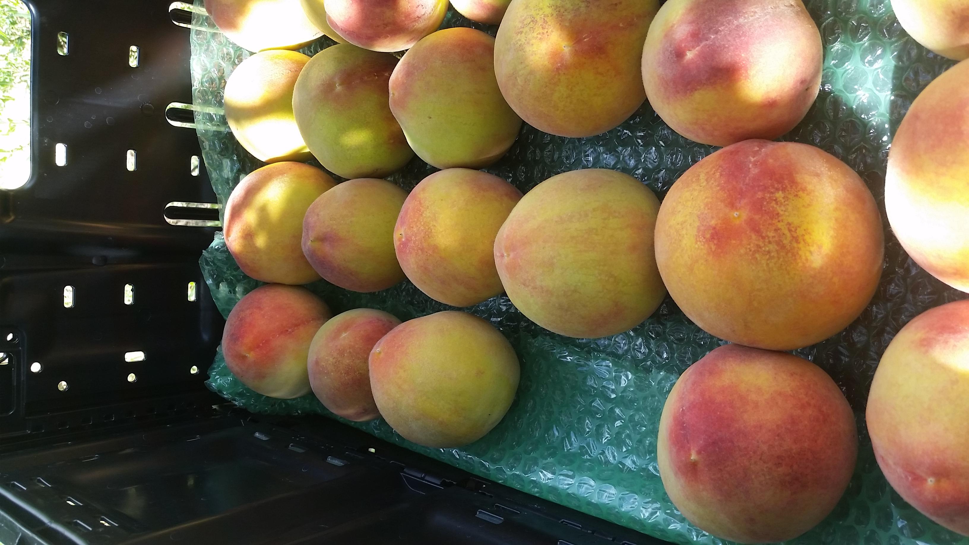 Peaches on their way to market