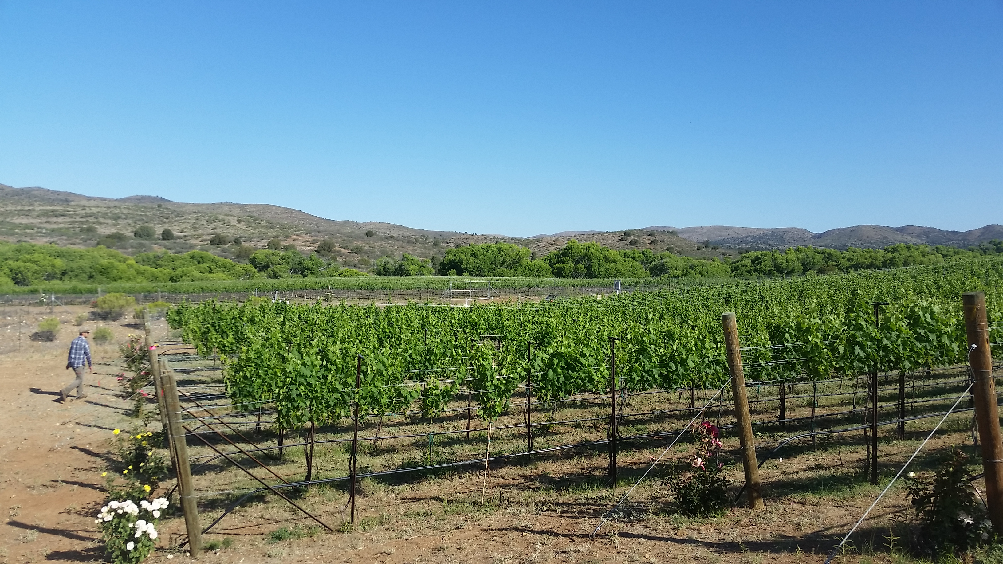 Late spring Merlot vineyard