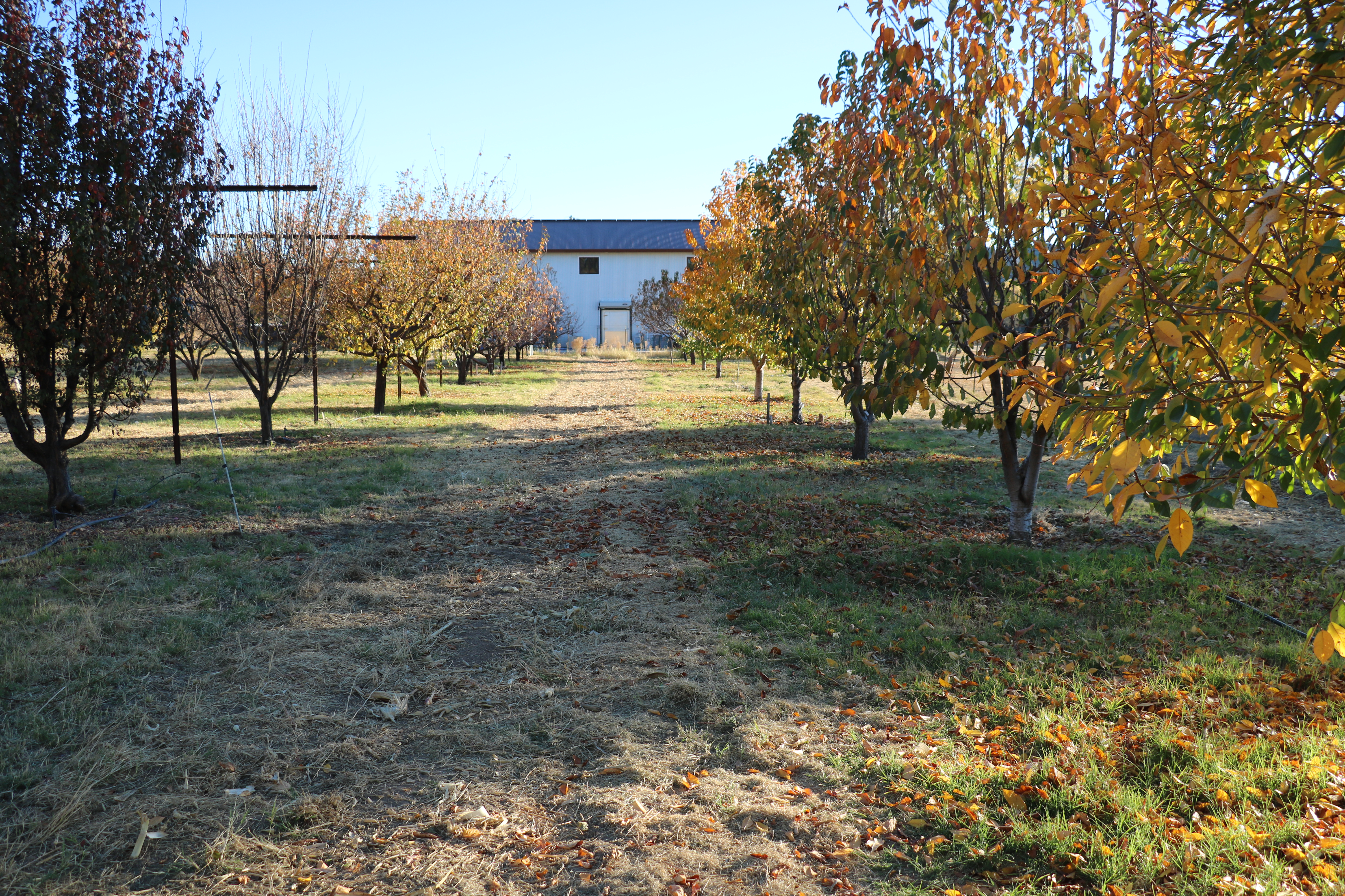 Plum and Pluot trees in the fall