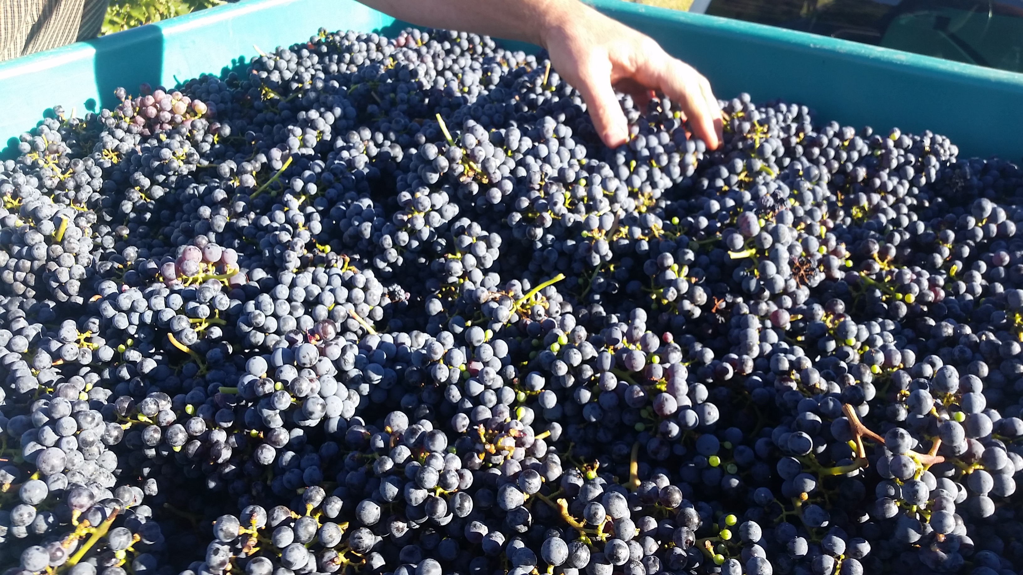 Vat full of Cabernet grapes