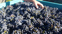 Vat full of Cabernet grapes
