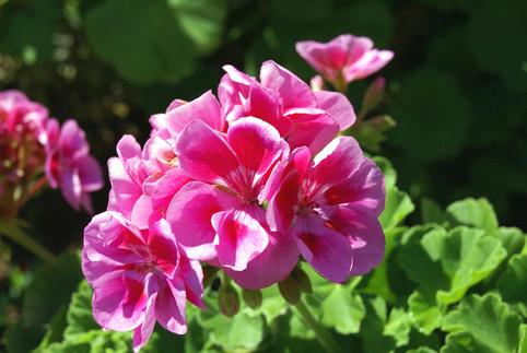 The Pink Geranium