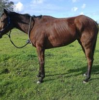 Thoroughbred with a fractured hip