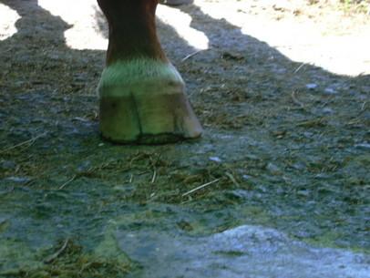 Thoroughbred seedy toe