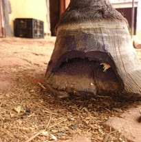 Advanced seedy toe