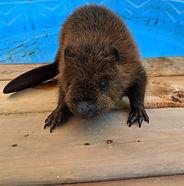 beaver_edited.jpg