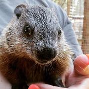 Rescued Groundhog