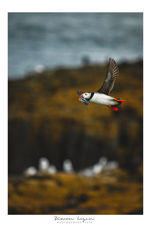Farne Islands - Puffin 2