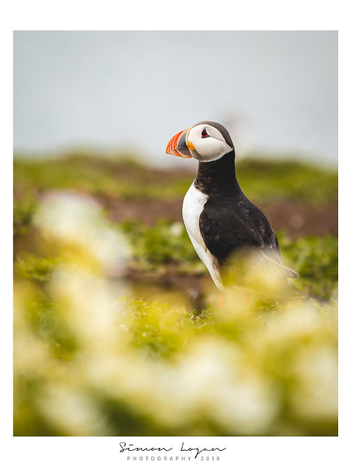 Farne Islands - Puffin 1
