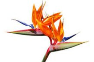 Bird of Paradise Fragrance/Body Oil (Premium Quality) 10 ML