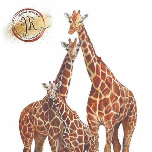 Giraffe - Umoja