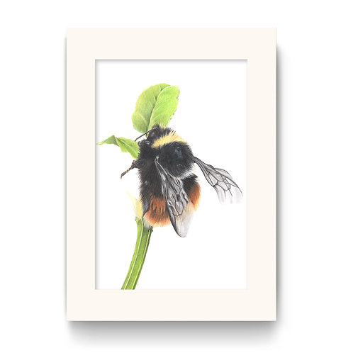 Bilberry Bee Print - Mrs B, the Bilberry Bumble Bee