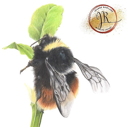Mrs B, the Bilberry Bumblebee