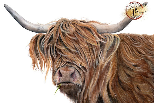 Toffee the Highland Cow