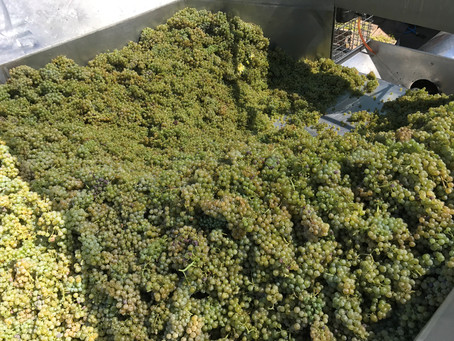 Riesling and Palomino coming in.