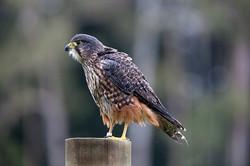 Native Falcon