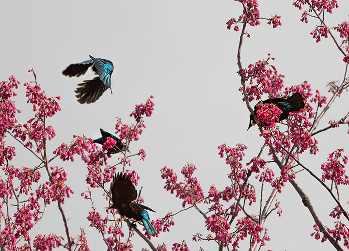 Tui in Flight