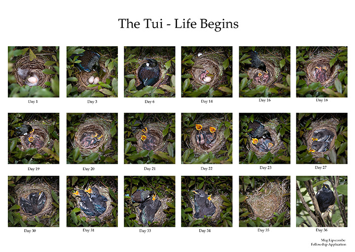 Tui - A nest in the bush