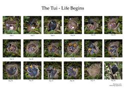 Tui - A nest in the bush