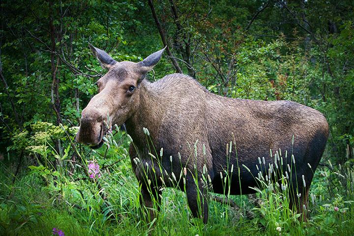 Moose, Anchorage, Alaska