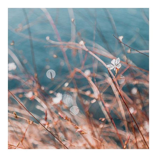 Butterfly bush - Medditeranean