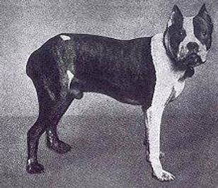 1er Boxer Flocki.jpg