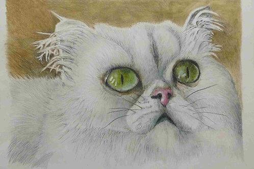 Chinchilla Cat - A3