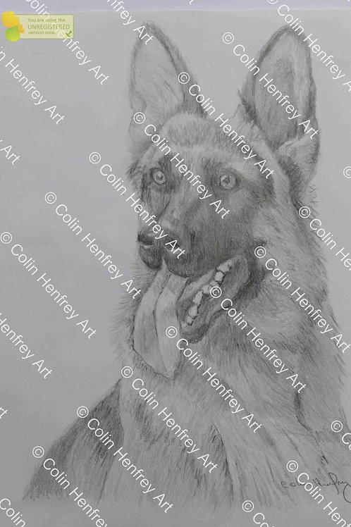 P1010526 - Alsatian Dog