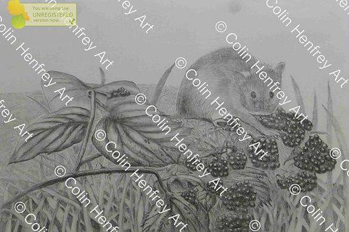 P1010534 - Harvest Mouse