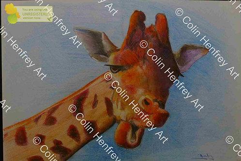 P 1010776 - Giraffe