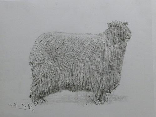 Lincoln Breed Sheep
