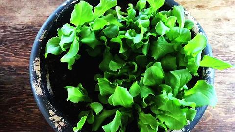 gardening butterhead lettuce
